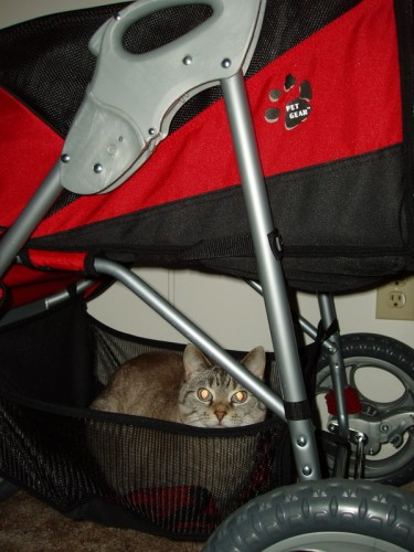 Mollie the cat hopes to hitch a ride in the basket of Maggie's and Chelsea's AT3 stroller