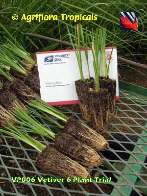 A vetiver plant pack