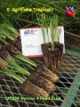 VP006 Vetiver 6 Plant Trial.jpg