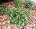 Psychotria nervosa, 'Little Psycho'.jpeg