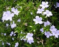 Ruellia Native Blue0.jpeg