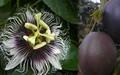 Passiflora Eedulis.jpeg