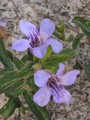 snakeherb twin flower.jpeg
