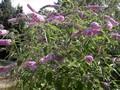 buddelia butterfly bush.jpeg
