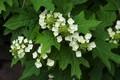 oakleaf hydrangea.jpeg