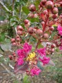 Starr_080716-9501_Lagerstroemia_indica.jpeg