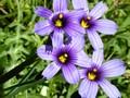 1024px-Blue_Eyed_Grass,_Bay_Area.jpeg