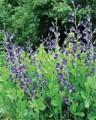 Baptisia_Blue128x160.jpg