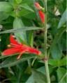 anisicanthus hummplt 128x160.jpg