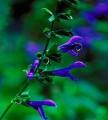 salvia sapphire blue 128.jpg