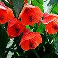 ds abutilon hybridum red.jpg