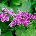 ds Duranta repens 'Dee's Purple'.jpg