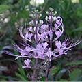 ds Orthosiphon stemeneus 'Cat Whiskers Lavender'.jpg
