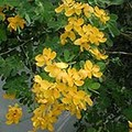 ds Cassia Bisaosularis Cassia Yellow.jpg