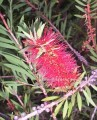 CalliBottlebrush2.jpeg
