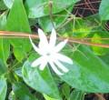 Jasminum nitidum1.jpeg
