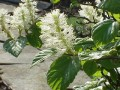 Fothergilla_major1.jpeg