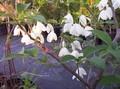 Halesia diptera.jpeg