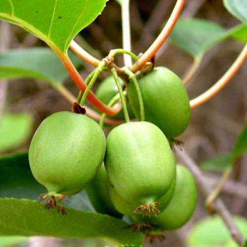 actinidia arguta issai hairless kiwi fruit 5 seeds refining fire chiles. Black Bedroom Furniture Sets. Home Design Ideas