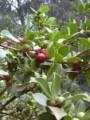 plantsstrawberryguava.jpg