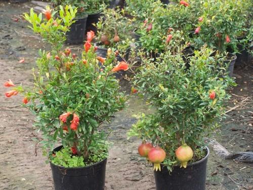punica granatum nana or dwarf pomegranate tree 10 seeds refining fire chiles. Black Bedroom Furniture Sets. Home Design Ideas