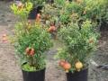 PlantsPunicagranatumnana.jpg