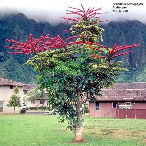 PlantsScheffleraactinophylla.jpg