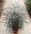 Plantsdizygothecaelegantissima.JPG
