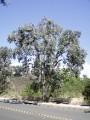 Plantseucalyptus_polyanthemos.jpg