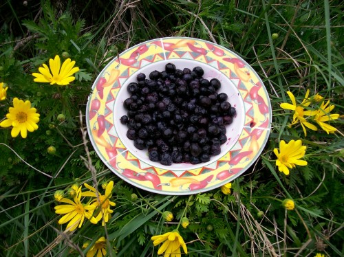plantsBlueberry.jpg