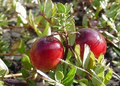 plantsCranberry.jpg