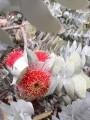 PlantsEucalyptusMacrocarpaFlower#1.jpg