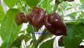 chilesBlackStinger#7-2010.jpg