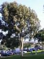 PlantsEucalyptuscitriodora.JPG