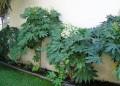 Plantsfatsiajaponica#2.jpg