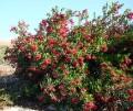 Plantsheteromelesarbutifolia.jpg