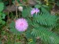 PlantsMimosapudica#3.jpg