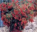 PlantscallistemonviminalisCaptainCook.jpg