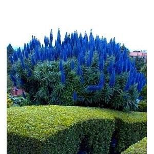 Plantsechiumfastuosum.jpg