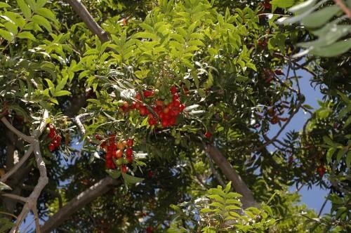 Plantskaffiirplum#2.jpg