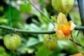 Plantsphysalisperuviana#1.jpg