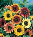 FlowersAutumnBeautySunflower.jpg