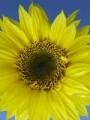 FlowersLemonQueenSunflower.jpg