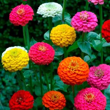 FlowersLilliputZinniaMix.jpg