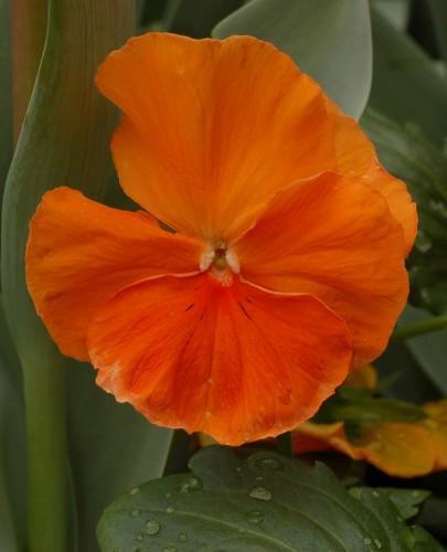 FlowersPadparadjapansy.jpg