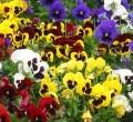 FlowersSwiis Giant Pansy.jpg