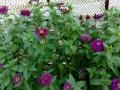 FlowersYogaZinniamix.jpg