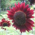 Flowerssunflowervelvetqueen#1.jpg