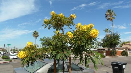 plantsCassiaLeptophylla#4.jpg