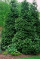 Green Giant arborvitae tree.jpg